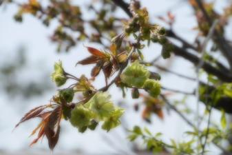 雨宝院御衣黄桜